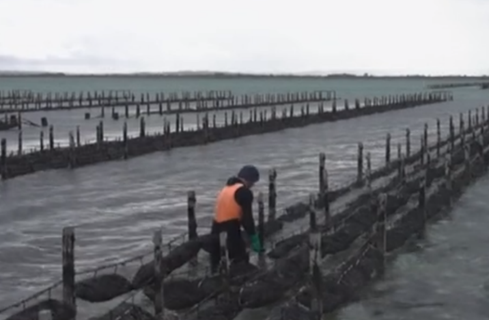 Photo of oyster farming
